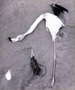 Lucien Clergue. Flamant mort dans les sables, Camargue, 1956. Arles, musée Réattu